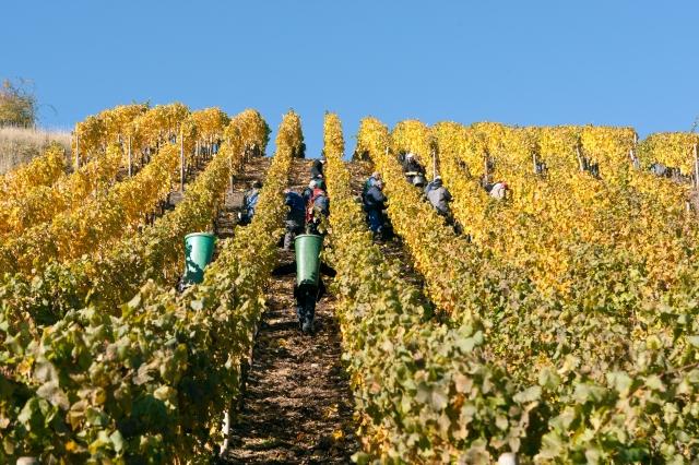 Wine Harvest at Weingut Doennhoff
