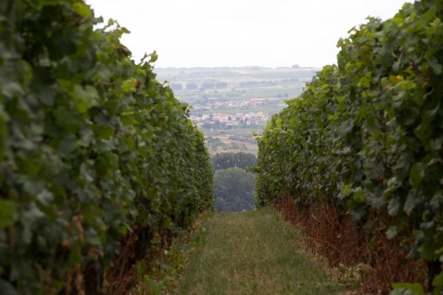 Rieslings in the vineyard