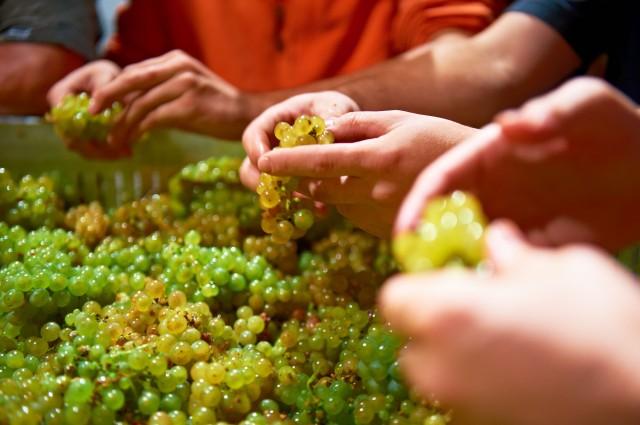Hand Selecting of Riesling Berries at Van Volxem (credit: Van Volxem)