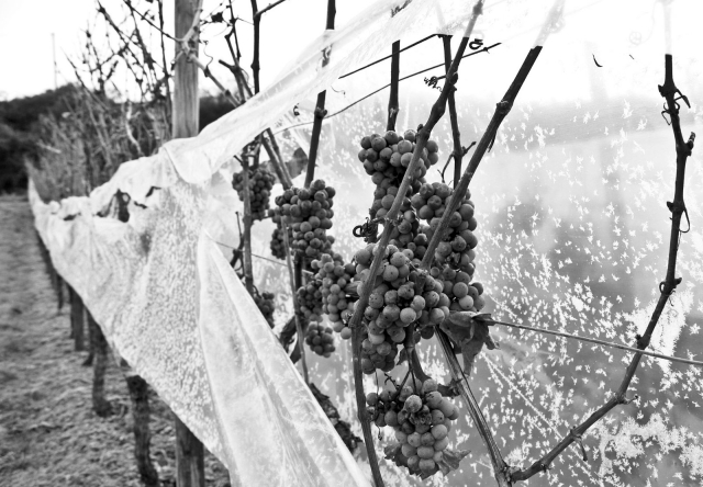 Harvesting Ice Wine at Donnhoff